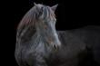 Obrazy na płótnie, fototapety, zdjęcia, fotoobrazy drukowane : portrait of the black horse on the black background