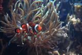 nemo fish (clown fish)