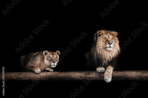 Stampa su Tela Lion and lioness, Portrait of a Beautiful lions, lions in the da