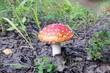 Постер, плакат: 11 Гриб Мухомор красный Лекарственные растения the Mushroom Amanita muscaria Medicinal plants