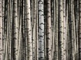 Seamless birch forest - 95587756