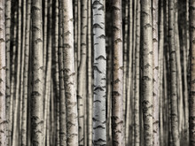 Seamless birch forest