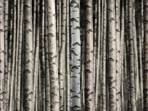 Fototapety, obrazy : Seamless birch forest