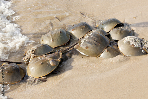 Horseshoe Crab (Limulus polyphemus) on New Jersey beaches along the Delaware Bay Poster