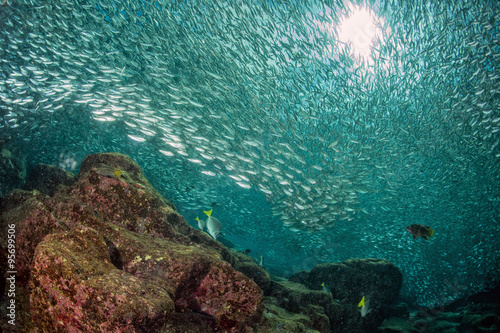 Entering Inside a sardine school of fish underwater Poster