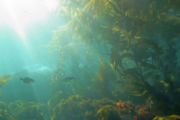 Sea life underwater kelp forest at California island