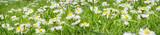 Gänseblümchenwiese, Banner
