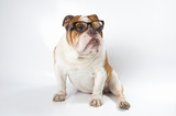 English Bulldog wearing glasses for vision..