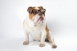 English Bulldog wearing glasses for vision..
