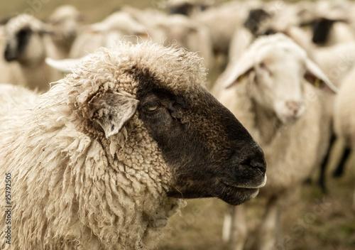 sheep - 95792505