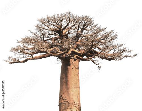 Isolated Baobab