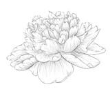 Fototapety beautiful monochrome black and white peony flower isolated on white background.