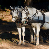 two  white work horses with harnesses and blinkers  hitched to a