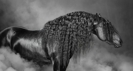 Portrait of black Frisian horse with long mane in the smoke