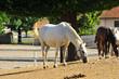 Obrazy na płótnie, fototapety, zdjęcia, fotoobrazy drukowane : lipizzaner mare and foal at stud