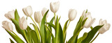 Fototapety Spring Tulips in white