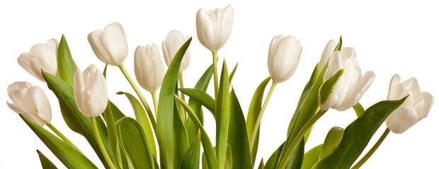 Spring Tulips in white