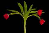Dark Red Tulips Isolated on Black Background