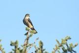 Merlin (Falco columbarius) in a tree