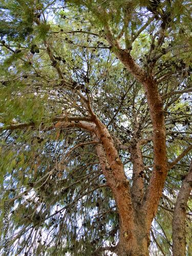 Afghan pine tree crown full of dry seed cones in phoenix az quot stock