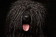 Close up Portrait of Puli Dog isolated on Black