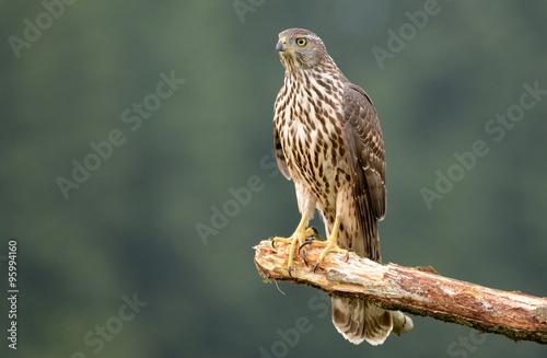 Poster Young Sparrow hawk (Accipiter gentilis)