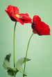 Red poppy flowers on a trendy green background