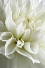 white dahlia and light © Christine