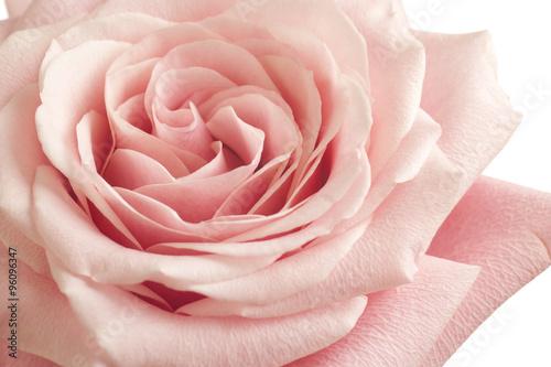 Zdjęcia na płótnie, fototapety, obrazy : pink rose closeup