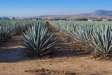 Krajobrazoweg tequila Guadalajara