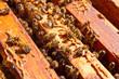 Obrazy na płótnie, fototapety, zdjęcia, fotoobrazy drukowane : Close up view of the bees swarming on a honeycomb.