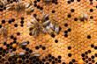 Obrazy na płótnie, fototapety, zdjęcia, fotoobrazy drukowane : Busy bees, close up view of the working bees on honeycomb.
