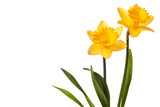 Fototapety yellow daffodil isolated on white background