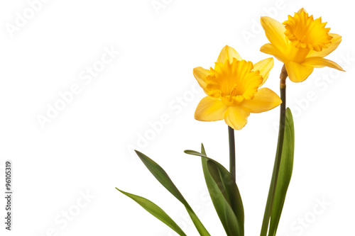 yellow daffodil isolated on white background