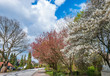 Blooming trees in springtime against blue sky with white clouds. European garden park scene with trees in spring, perfect for garden blogs, websites, magazine