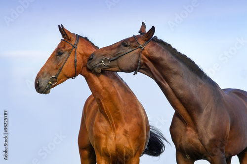Two beautiful bay horse couple portrait against blue sky Poster