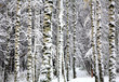 Snow birch trees in autumn