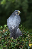Peregrine Falcon (Falco Peregrinus)/Peregrine Falcon perched on ivy covered branch