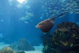 Beautiful aquarium ray