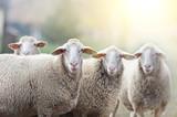 Sheep flock standing on farmland - 96297597
