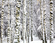 First snow on the autumn birch trees