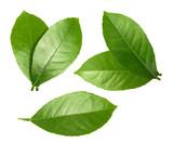 Fototapety Lemon leaf isolated on white background