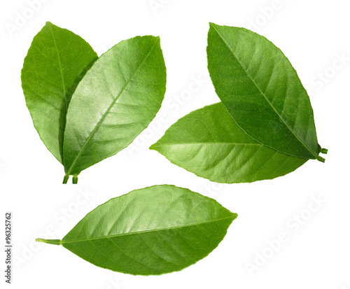 Lemon leaf isolated on white background - 96325762