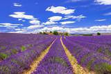 violet feelds of blooming lavander in Provance, France