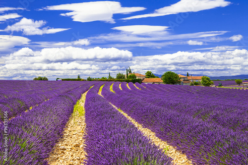 blooming violet feelds of lavander in Provance, France © Freesurf