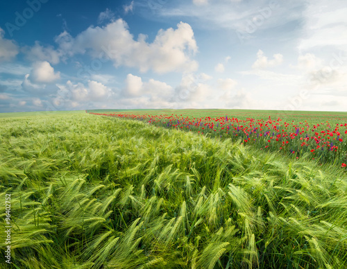 Fototapeta Agricultural composition in the summer time