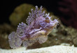 ������, ������: Weedy Scorpionfish is a ray finned fish with venomous spines that using their camouflage to prey on unsuspecting fish and invertebrates