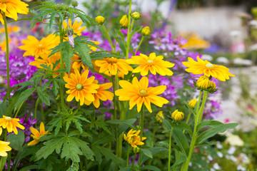 Piękny kwietnik z żółtych kwiatów Rudbeckia