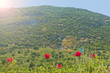 red poppy flowers in mountains at sunrise