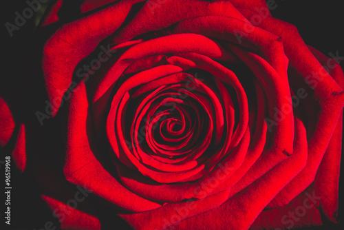 Fototapeta red rose from the dark